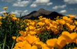 OWENS_1_Gold_Poppies