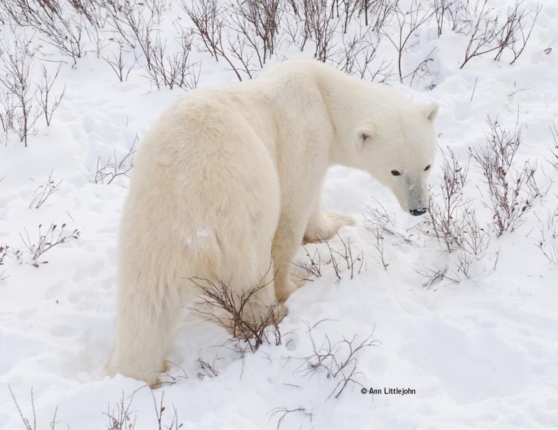 Polar Bear on tundra outside of Churchill, Manitoba, Canada © Ann Littlejohn