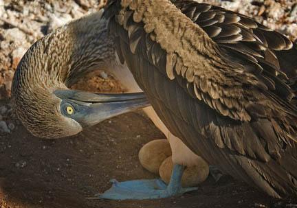Blue Footed Boobie on Nest © Eileen Duranko
