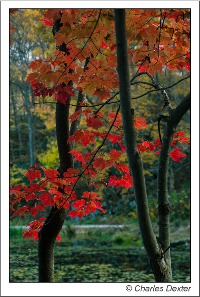 Autumn Red Maple