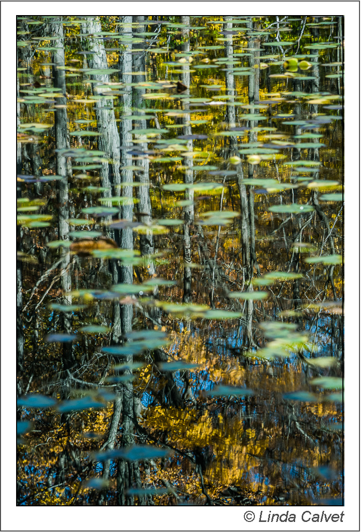 Lily pads in pond reflection