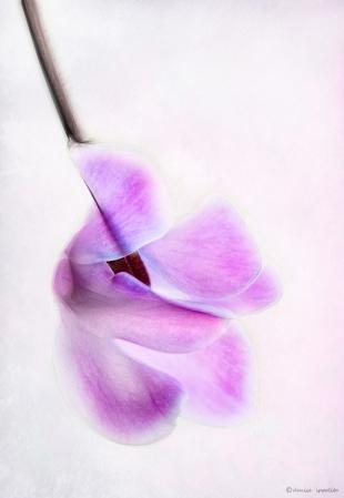 Cyclamen © Denise Ippolito