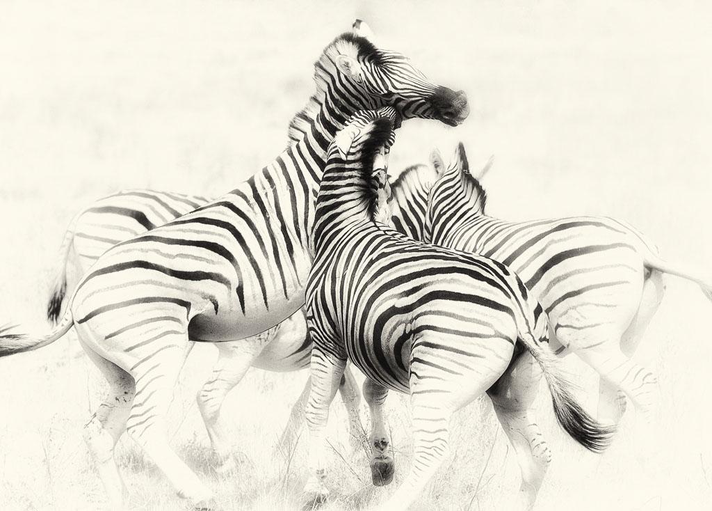 Photo of Burchell's Zebra in Namibia by Madeleine Barbara