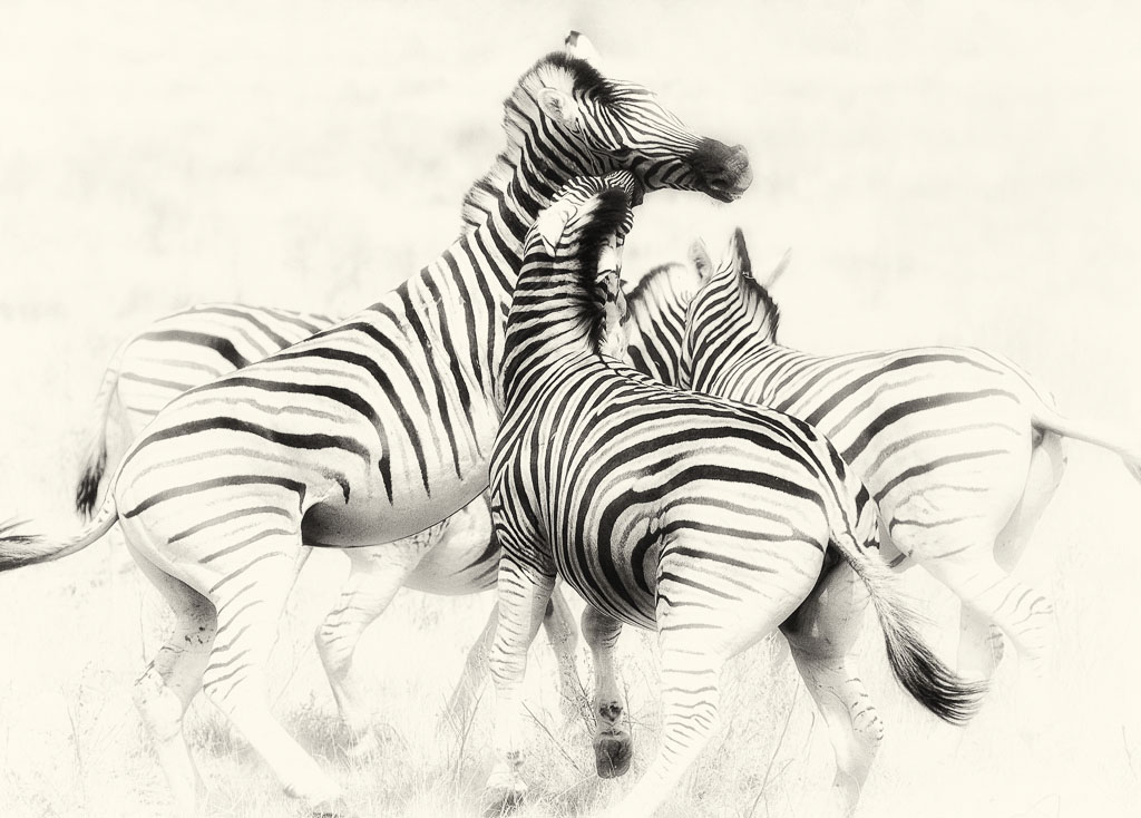Photo of Burchell's Zebra in Namibia by Madeleine Barbara