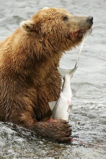 Photo by George Grubb of Kodiak Bear holding fish