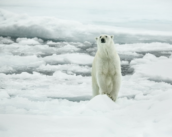 Photo by Geroge Grubb of polar bear standing on ice in Artci