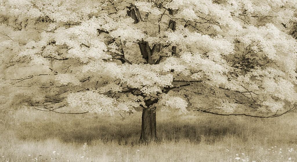 Sepia toned photo of tree by Tony Sweet