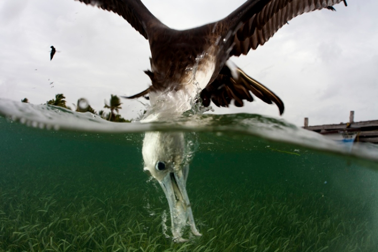 A view above and below the water of a juvenile Magnificent Frigatebird as it dives into the water catching a small silver fish. Frigatebirds never land on water, and always take their food items in flight. Juvenile birds have a white head and underparts.