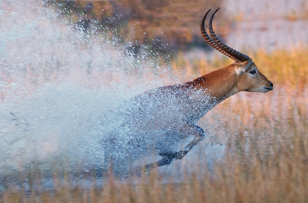 Red lechwe dashing through the shallow waters of the Okavango Delta, Botswana © Sean Crane