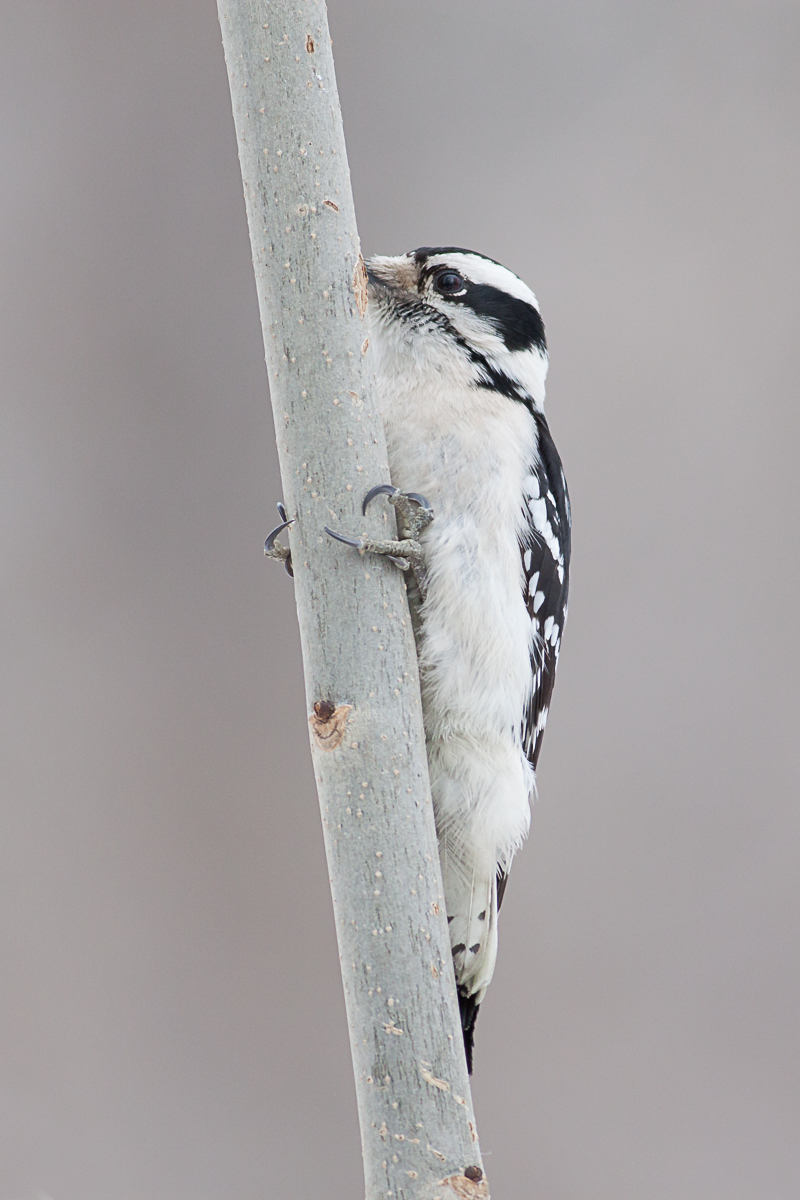 Downy woodpecker in January, Central Park © Charles Chessler