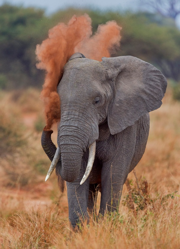 Photo of elephant, Tarangire National Park, Tanzania © 2013 David DesRochers