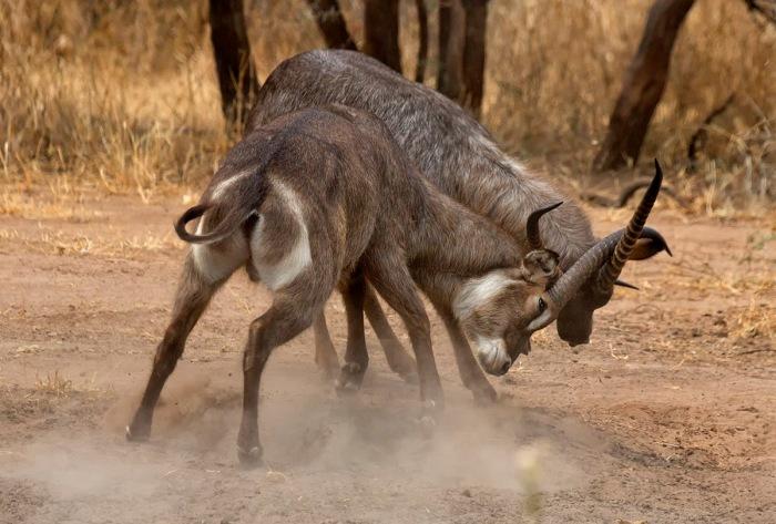 Photo, Waterbucks (Kobus ellipsiprymnus) sparring, Tarangire National Park; Tanzania; Africa © 2013 David DesRochers