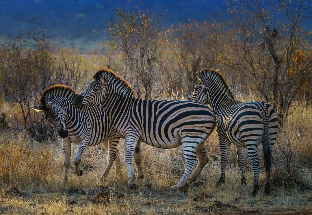 Photograph of three zebras, © Katrin Eismann
