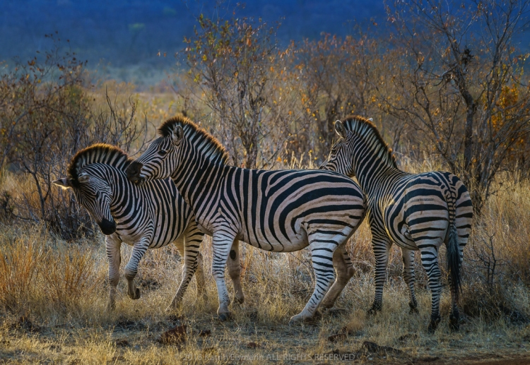 Photograph of three zebras, © Katrin Eismann