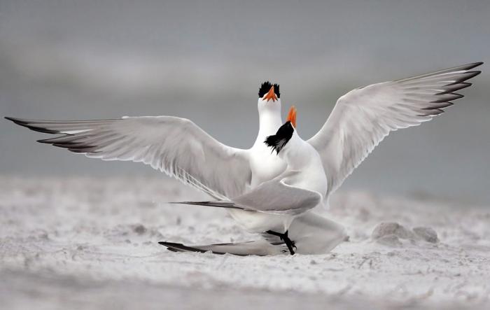 © Mike Corrado, Royal Terns