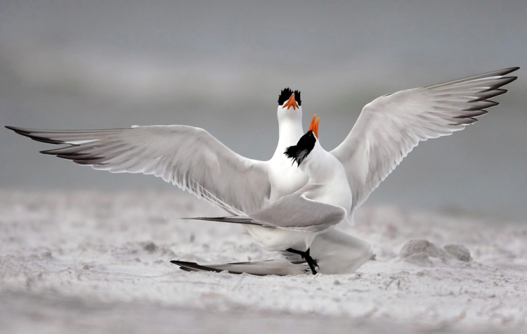 © Mike Corrado, Royal Terns