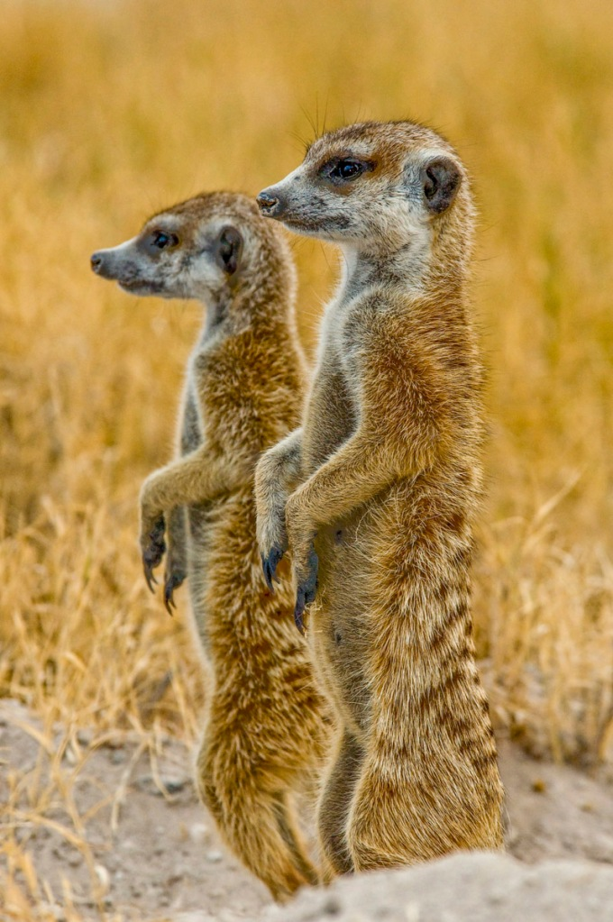 Color photograph of 2 upright meerkats © Bob Krist/All Rights Reserved