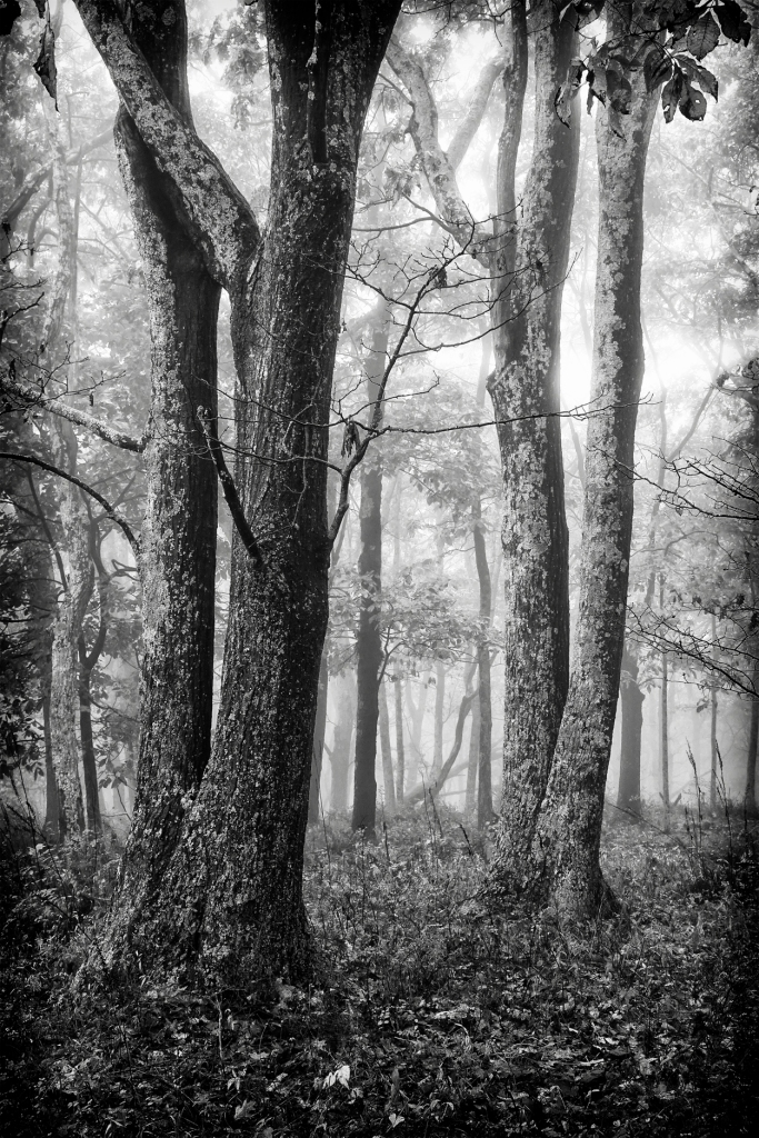 Black and white photo of trees ©David Brommer
