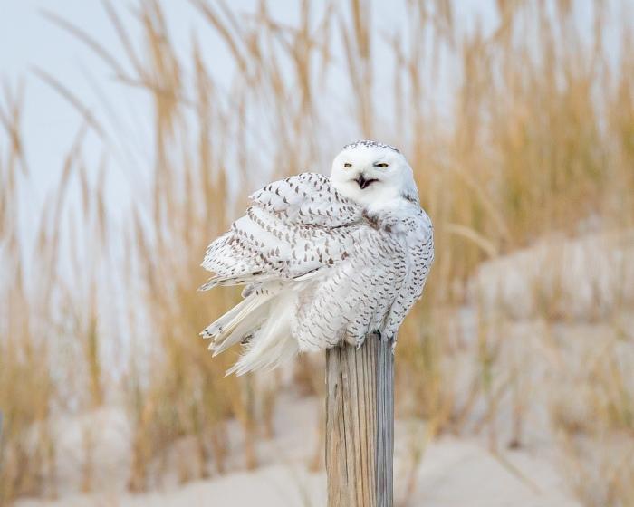 Color photo of snowy owl on post in snowy field. Snowy Owl © Sharron Lee Crocker