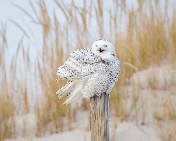Color photo of snowy owl on post in snowy field. Snowy Owl © Sharron Lee Crocker