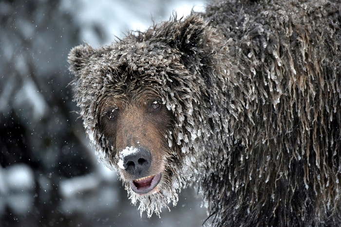Photo of ice grizzly bear, Bear Cave Mountain © Michelle Valberg