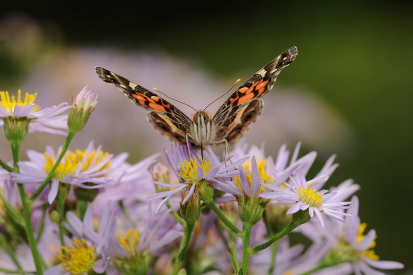 Color photograph of front view of butterfly on flowers © Pierre Henri