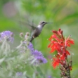 Color photograph of hummingbird and flowers © Pierre Henri