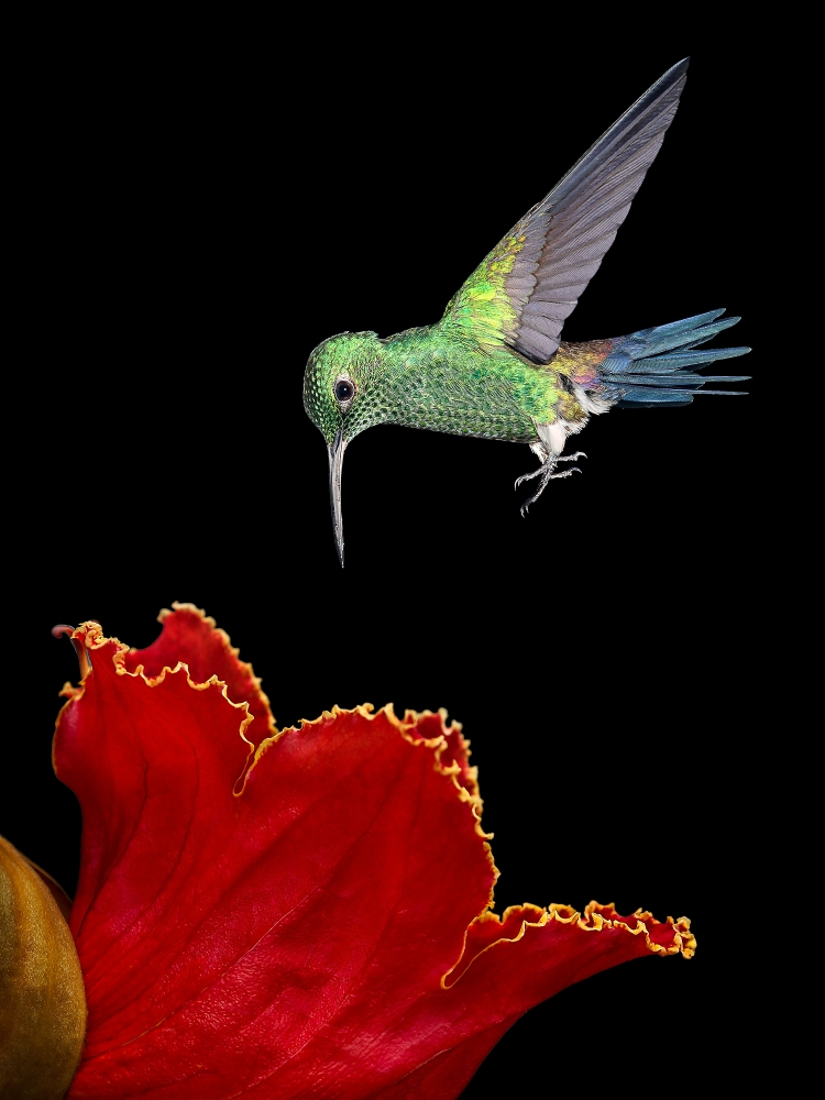 Steely-vented Hummingbird-18655 © Cynthia Walpole, Color photograph of hummingbird and flower.