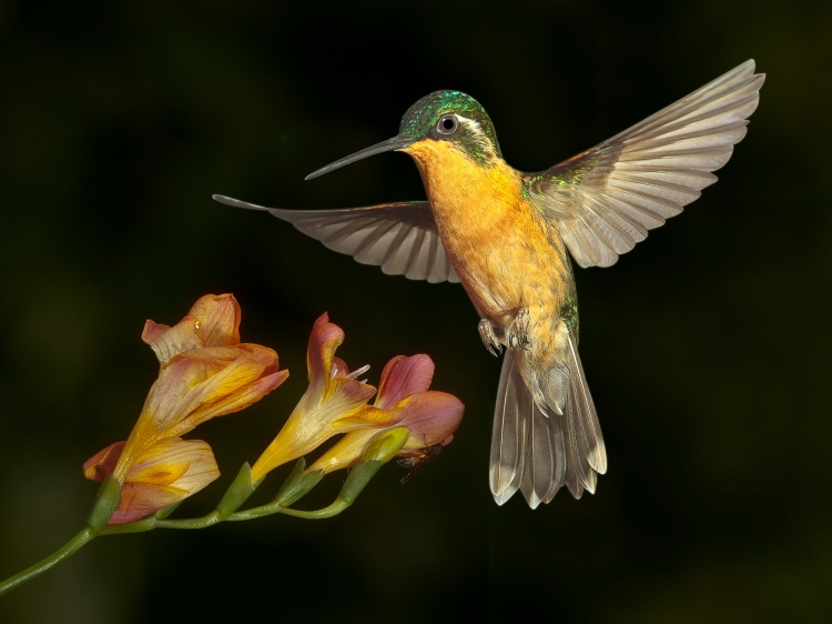White-throated Mountaingem 26880 ©Charles Fritsch, photo of hummingbird and red flower