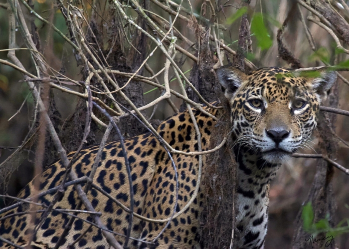 I had the honor of officially naming this beautiful creature. The Jaguar Identification Project, a non-profit conservation organization, collects data on individual jaguars in the Pantanal. Curiosa, Pantanal © Nancy Langer