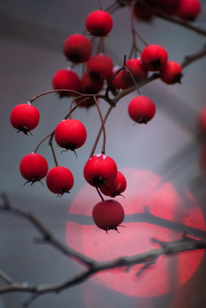 Winter red berries in Central Park, NYC. A traffic light turns red in the distance on Central Park West at 103 Street. © Linda Calvet