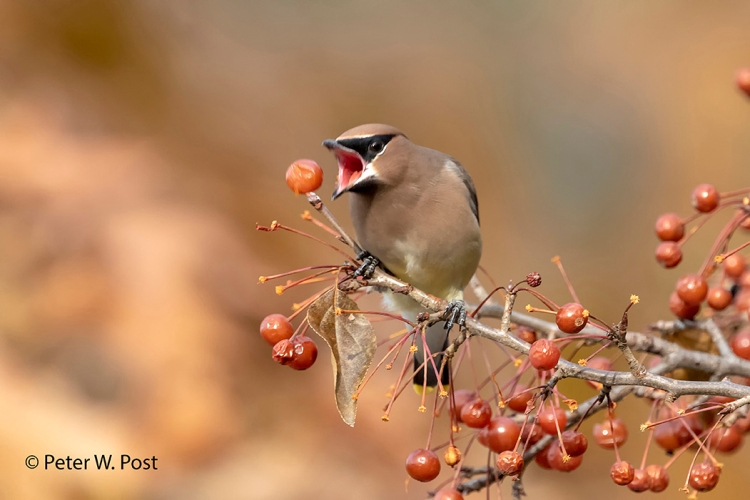 Photograph of cedar waxwing, © Peter W. Post