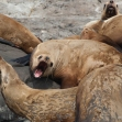 Photograph of seals © Gaelin Rosenwaks