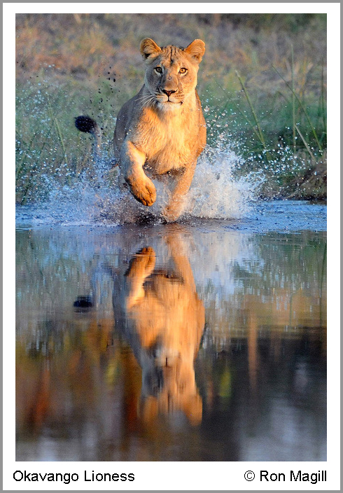 Okavango Lioness © Ron Magill