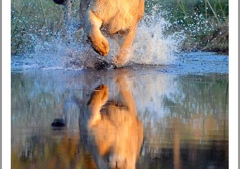 Okavango Lioness