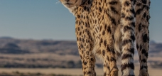 Photograph of Cheetah Posing, South Africa