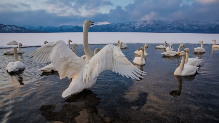 Photograph of Swans on winter lake