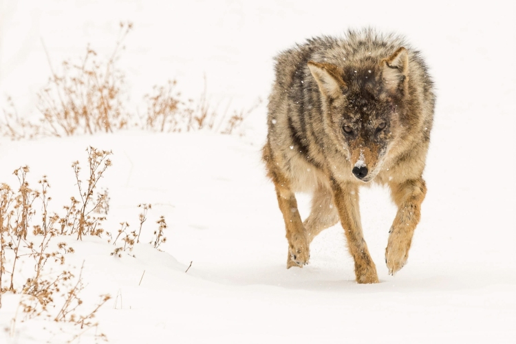 Photograph of Wolf, Stalking in Snow