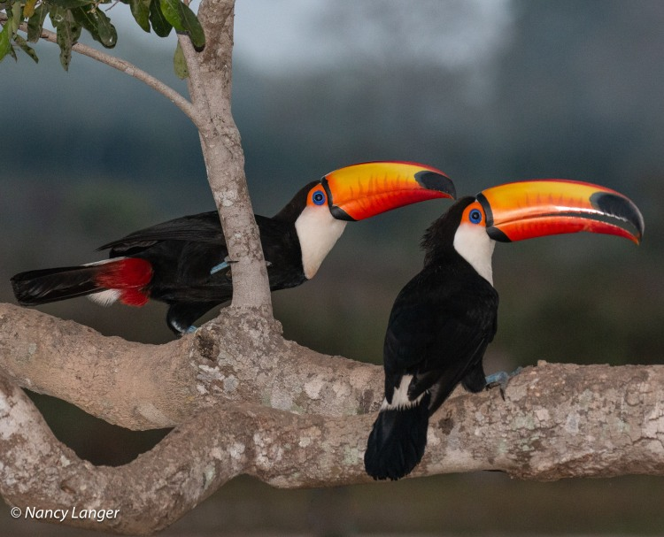 Toucans in the Pantanal © Nancy Langer