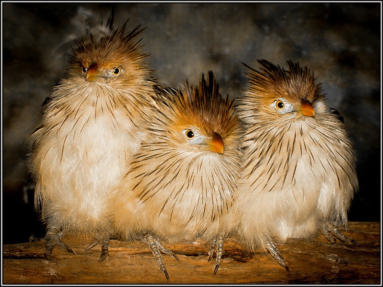 Three Chicks © Chuck Pine