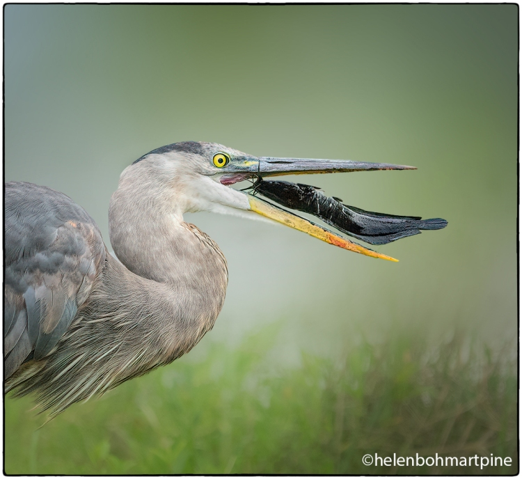 Great Blue Heron with Catfish © Helen Pine