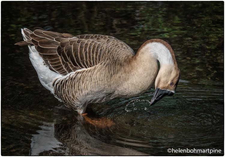 Greylag Goose © Helen Pine