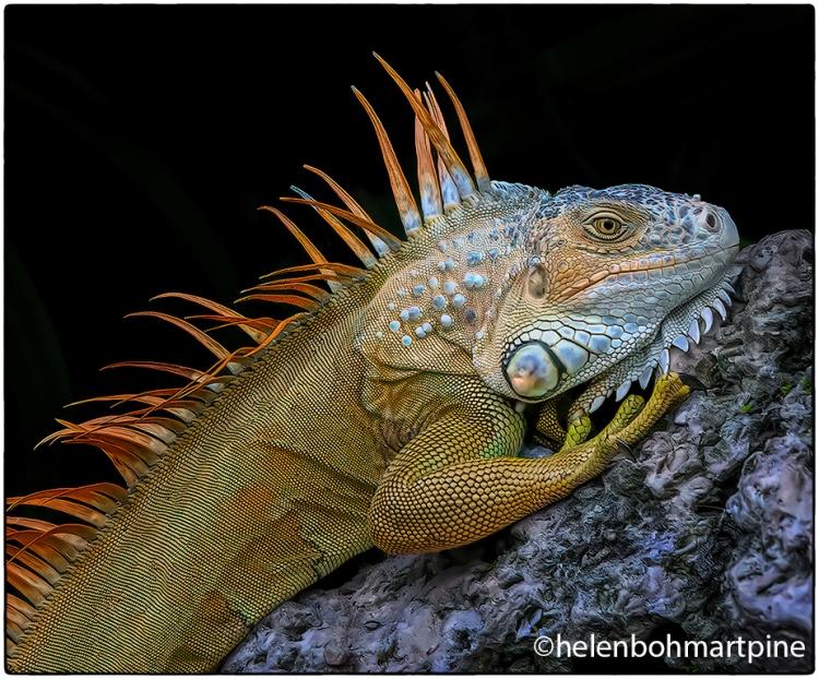 Iguana © Helen Pine