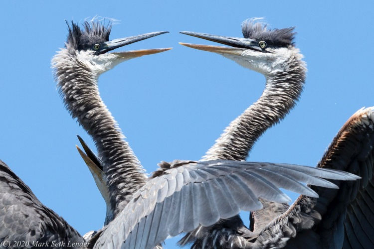 Great Blue Heron - Cain and Abel Reach an Understanding © Mark Seth Lender