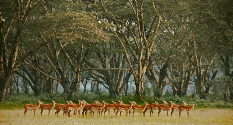 © Madelaine Barbara, Impalas in the Rain, Kenya