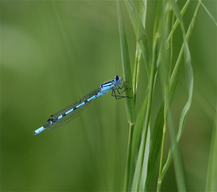 © Trudy Fitschi, Damselfly, Lake Constance, Germany
