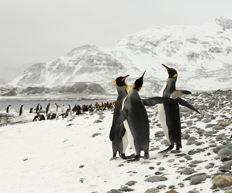 © George Grubb, King Penguins, South Georgia Island