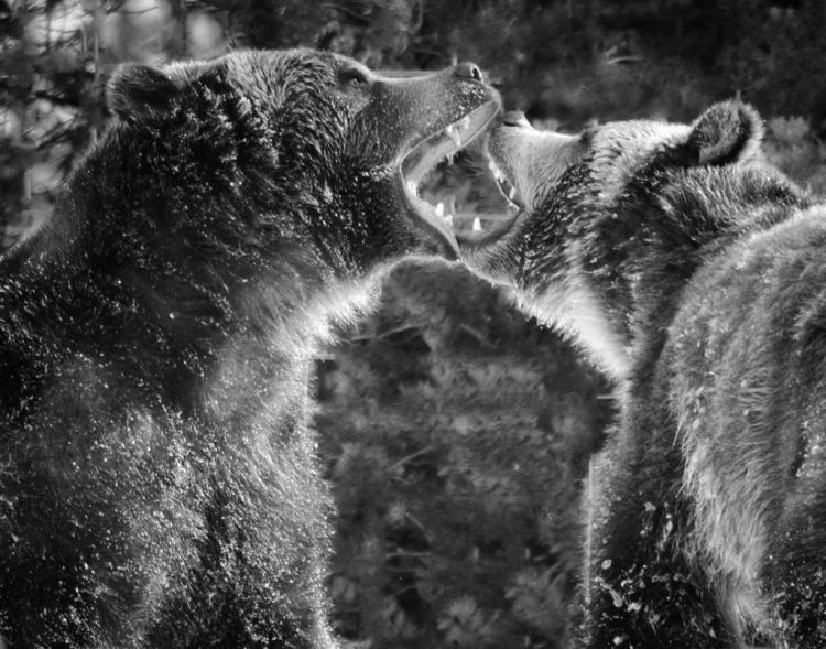 © Marjorie Gurd, Bear Encounter, Yellowstone NP, WY