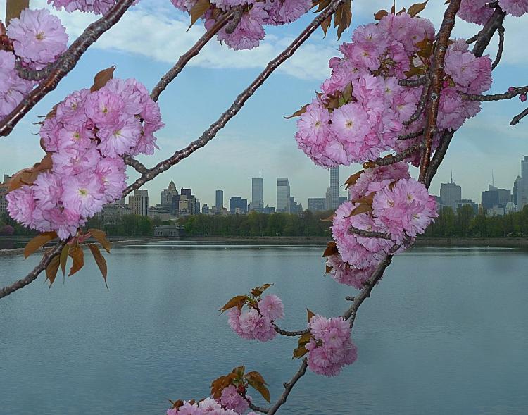 © Susan Hoehn, City Blossoms, Central Park, NYC