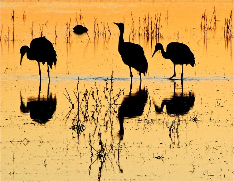 © Gladys Hopkowitz, Sandhill Cranes, Bosque, NM